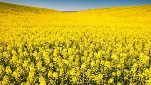 rapeseed-field (500x281).