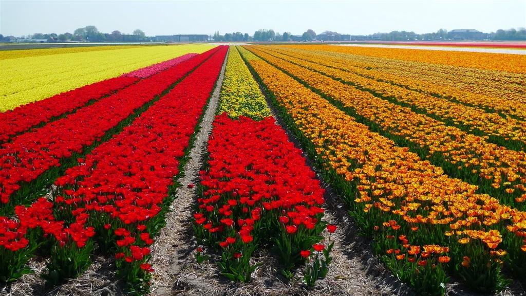 holland-tulip.jpg
