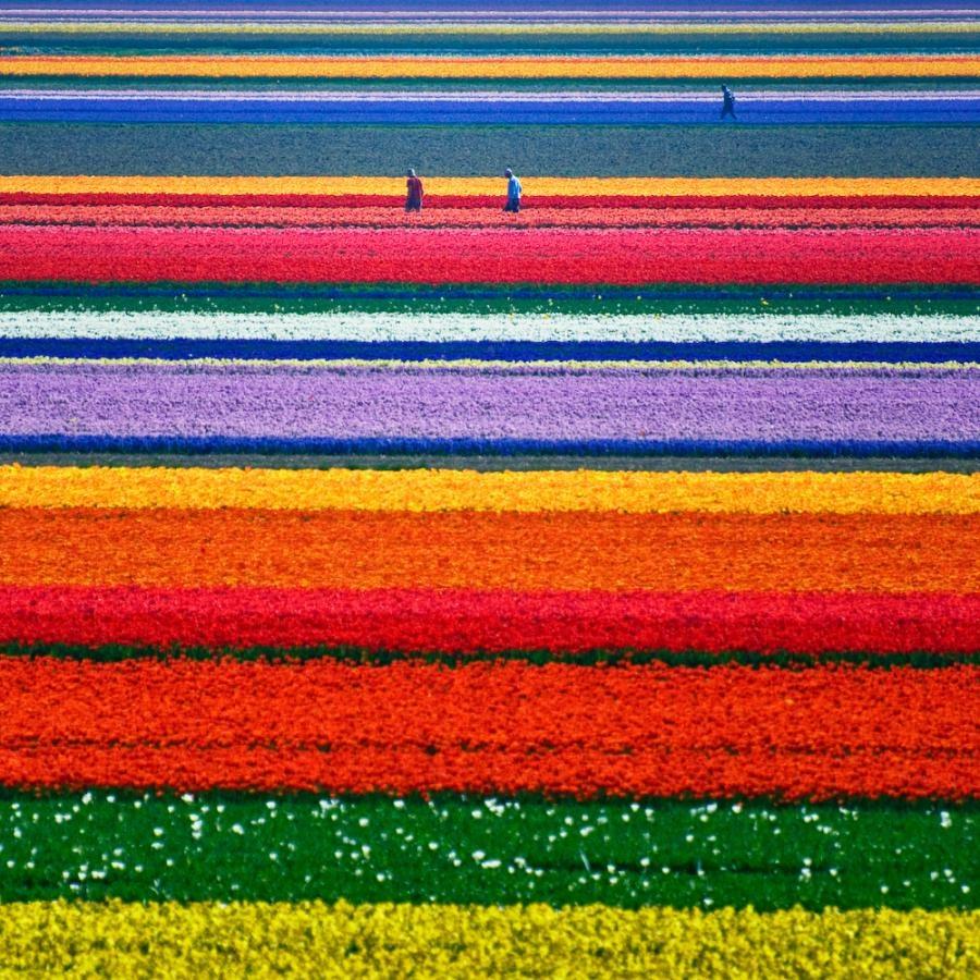 tulipsfieldsinholland6.jpg