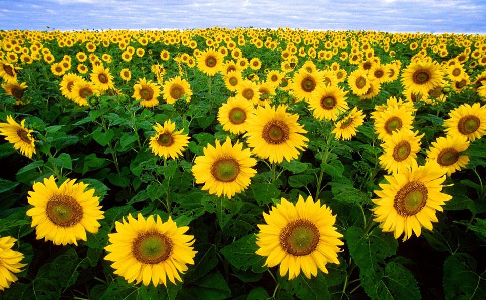 1-sunflower-solar-mit-1.jpg