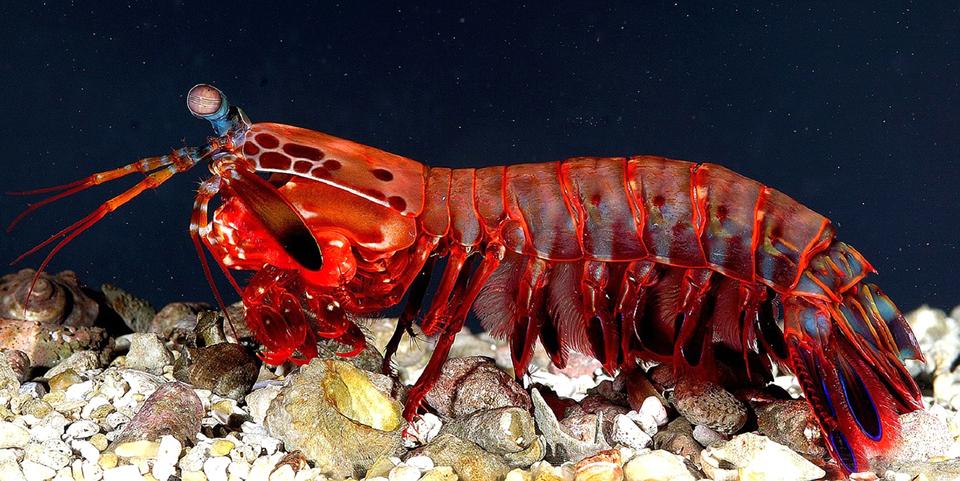 3-mantis-shrimp-armor-1.jpg